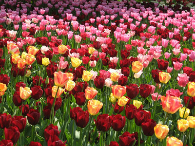 tulips blooming everywhere